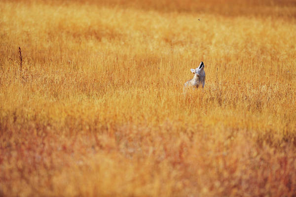 Animal Place Photograph - A Coyote Hunting Insects In A Golden by Keith Ladzinski