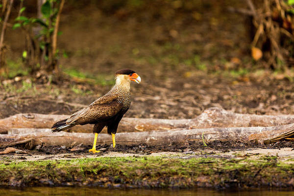Wall Art - Photograph - A Crested Caracara Walks Along A River by James White