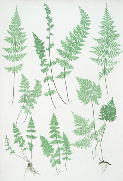 Ferns Drawing - A. Cystopteris Fragilis. B. C. Regia. C. C by Litz Collection