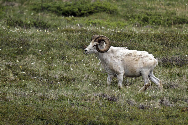Photograph - A Dall Ram's Curl by Wes and Dotty Weber