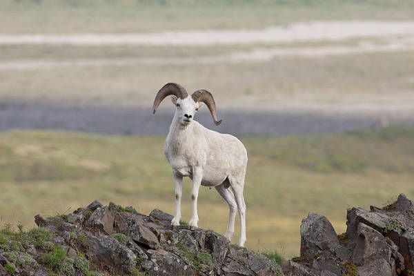 A Dall Sheep Ram Poses On Marmot Rock Art Print by Hugh Rose