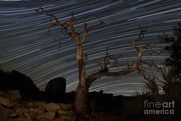 Yucca Palm Photograph - A Dead Pinyon Pine Tree And Star by Dan Barr