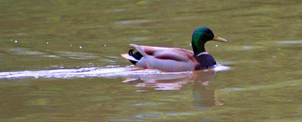 Photograph - A Delta Mallard by Joseph Coulombe