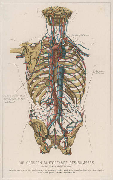 Wall Art - Drawing - A Diagram Showing The Bones  Which Make by Mary Evans Picture Library