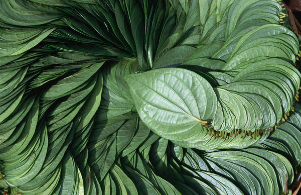 Bangalore Photograph - A Display Of Betel Leaves, Used In The by Greg Elms