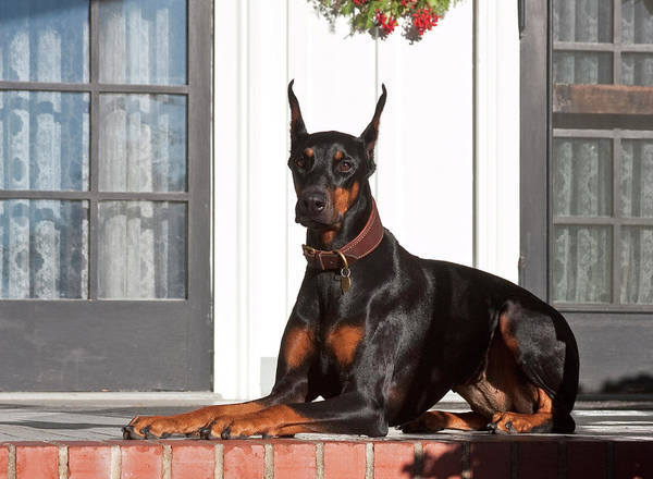 Security Service Photograph - A Doberman Pinscher Lying On A Red by Zandria Muench Beraldo