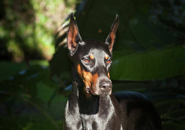 Doberman Wall Art - Photograph - A Doberman Pinscher Standing In A Sunny by Zandria Muench Beraldo