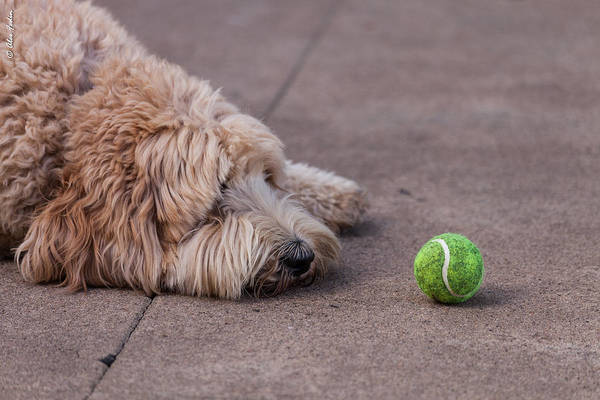 Photograph - A Dog With The Green Ball by Alexander Fedin