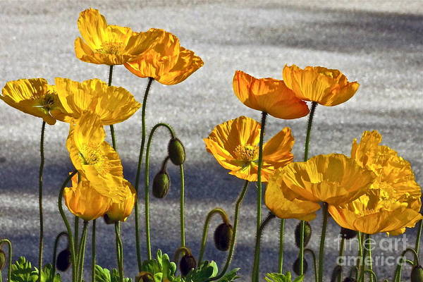 Photograph - A Dozen Or More Golden Poppies by Byron Varvarigos