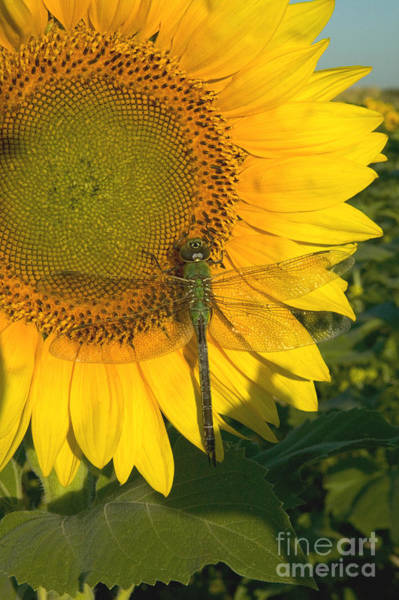 Photograph - A Dragonfly Rests On A Sunflower by Inga Spence