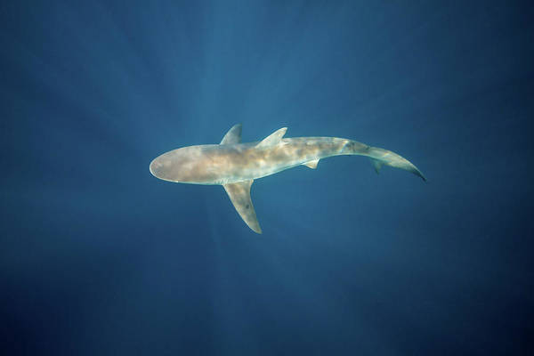 Carcharhinidae Photograph - A Dusky Shark In The Blue Waters by Alessandro Cere