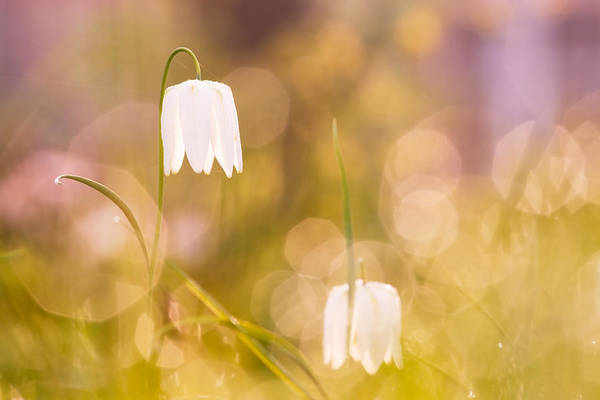 Fritillaria Photograph - A Fairies' Place by Roeselien Raimond