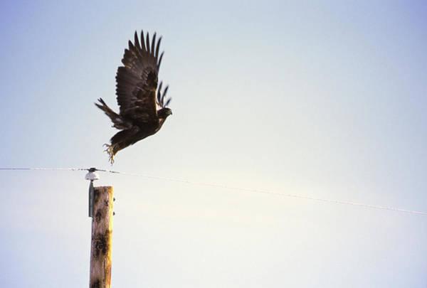 Falcons Photograph - A Falcon Takes To The Air by Heath Korvola