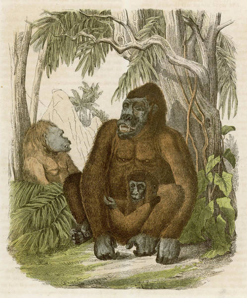 Wall Art - Drawing - A Family Of Three Gorillas In The Jungle by Mary Evans Picture Library