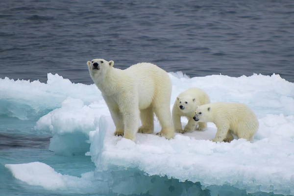 Polar Photograph - A Family by Vadim Balakin