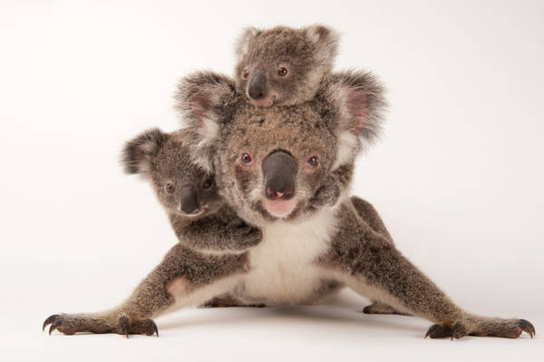 Photograph - A Federally Threatened Koala by Joel Sartore