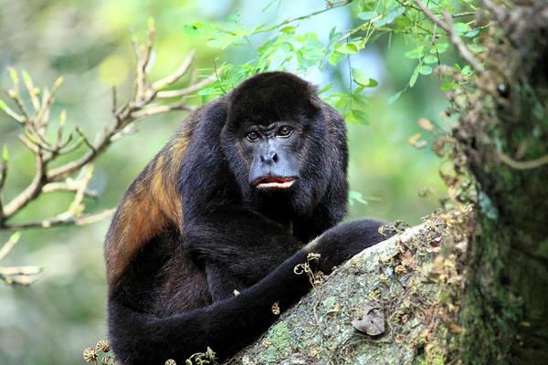 Monkey Flower Wall Art - Photograph - A Female Mantled Howler Monkey by Miva Stock