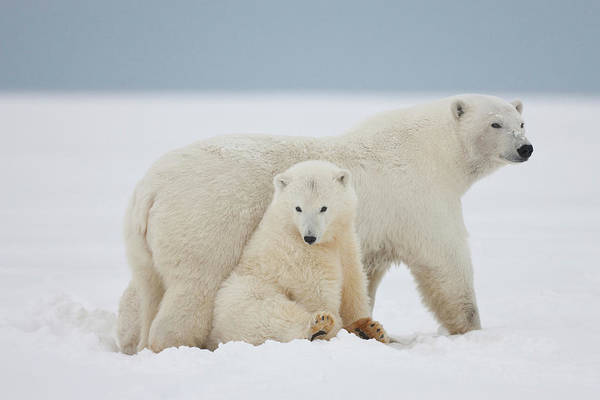 Sow Photograph - A Female Polar Bear And Her Two Cubs by Hugh Rose