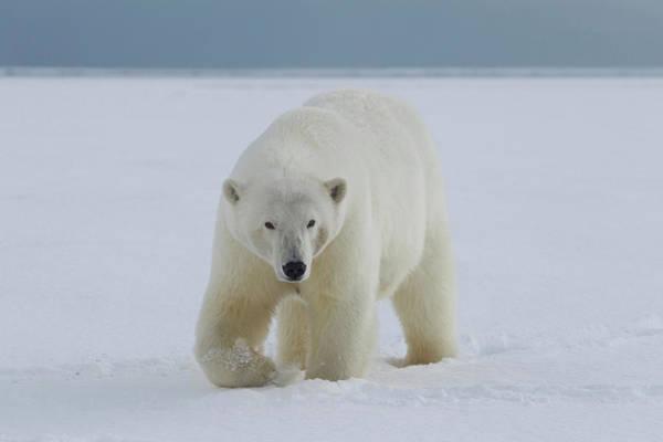 Wall Art - Photograph - A Female Polar Bear Walks by Hugh Rose
