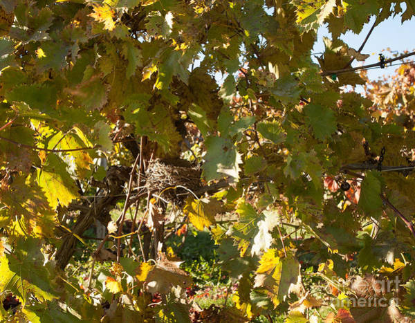 Photograph - A Few Grapes Left For The Birds by Carol Lynn Coronios