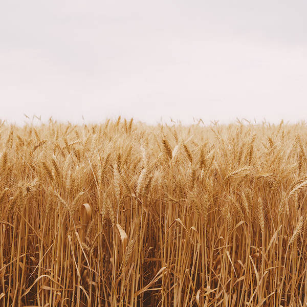 Sparse Photograph - A Field Of Ripening Wheat Growing, Near by Mint Images - Paul Edmondson