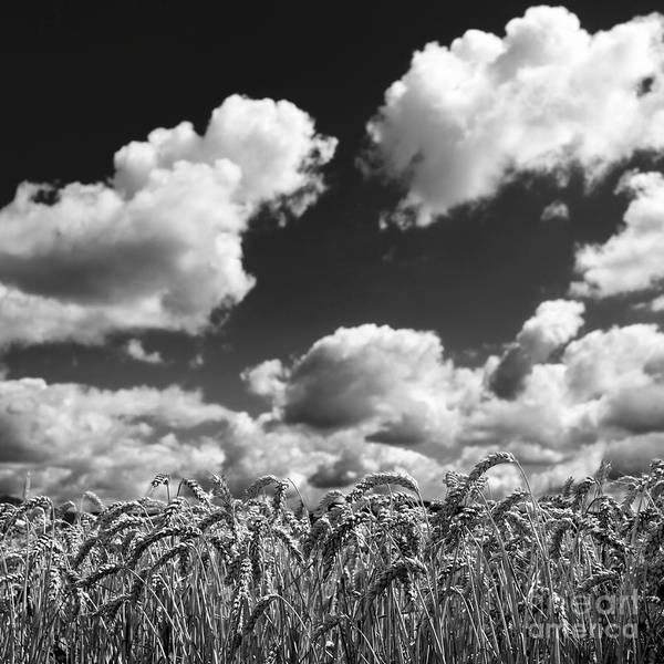 Cornfield Photograph - A Field Of Wheat . Limagne. Auvergne. France by Bernard Jaubert