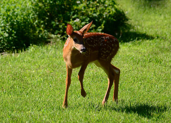 Photograph - A Fine Little Fawn by Lori Tambakis