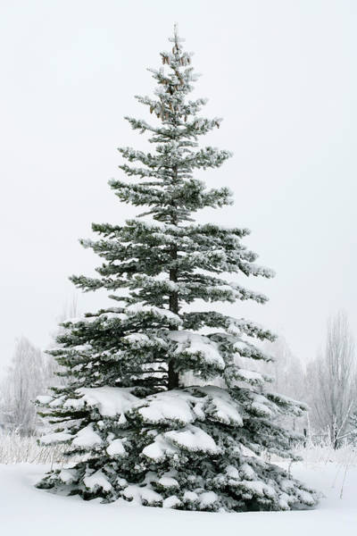 Pine Tree Photograph - A Fir Tree Covered In Snow Outside by Viorika