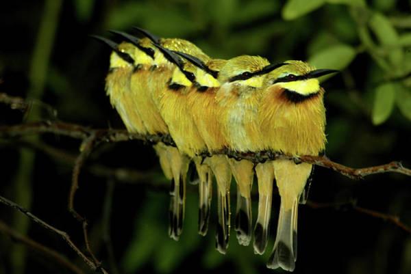 Wall Art - Photograph - A Flock Of Bee-eater Birds, Merops by Beverly Joubert