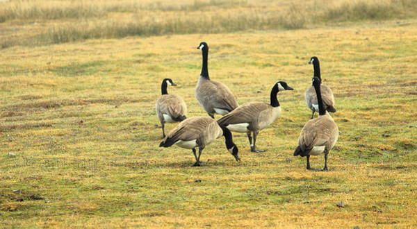 Photograph - A Flock Of Canada Geese by Rima Biswas