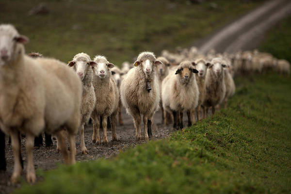 Ovine Photograph - A Flock Of Sheep Stands In A Meadow by Chico Sanchez