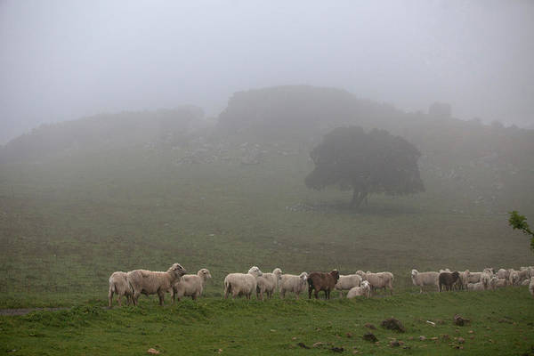 Ovine Photograph - A Flock Of Sheep Walk In A Dirt Road by Chico Sanchez