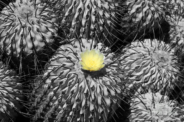 Photograph - A Flower Among Thorns by James Brunker
