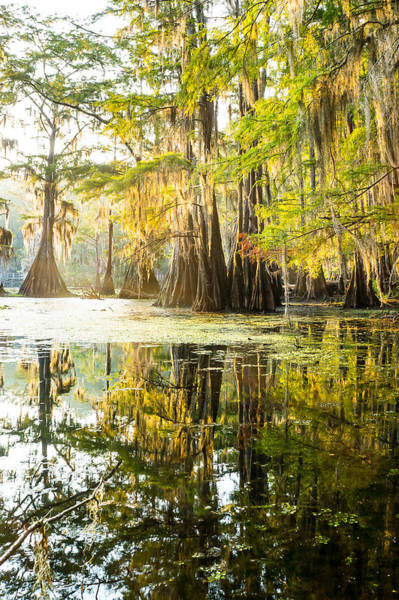 Wall Art - Photograph - A Forest Of Bald Cypress Trees In The Morning Sun by Ellie Teramoto