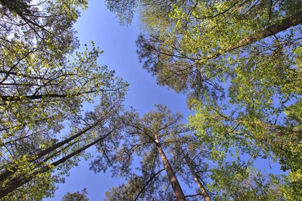 Photograph - A Forest Sky by Gordon Elwell