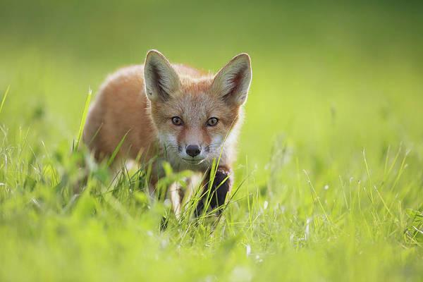 Sly Photograph - A Fox In The Grass  Montreal, Quebec by Vladislav Kamenski