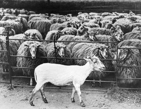Shaved Photograph - A Freshly Sheared Sheep by Underwood Archives