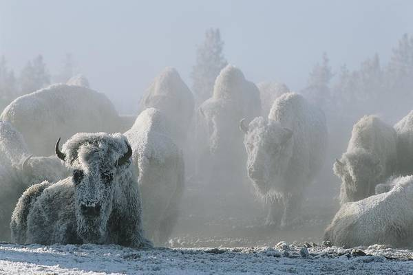 Wall Art - Photograph - A Frost-covered Herd Of American Bison by Tom Murphy