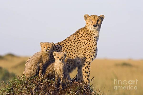 Photograph - A Future For Cheetahs by Suzi Eszterhas