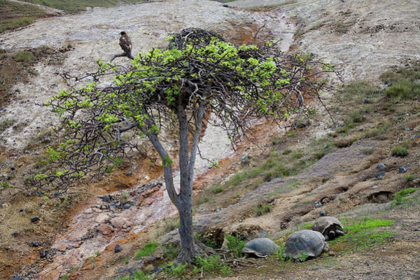 Galapagos Islands Wall Art - Photograph - A Galapagos Hawk Perches In A Tree by Eric Rorer