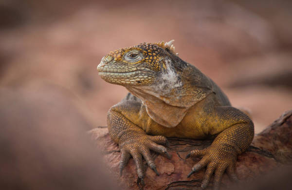 North Seymour Island Photograph - A Galapagos Land Iguana, Conolophus by Jeff Mauritzen