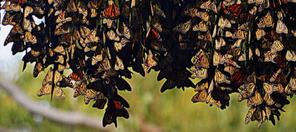 Photograph - A Gathering Of Monarchs by AJ  Schibig