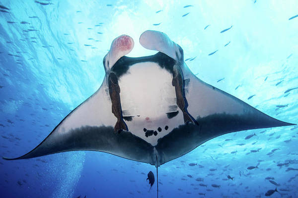 Eagle Ray Photograph - A Giant Pacific Manta Ray, Socorro by Brook Peterson