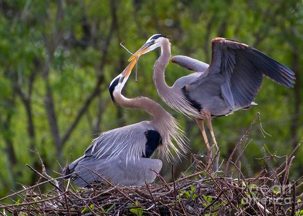 Great Blue Herons Photograph - A Gift For The Nest by Sabrina L Ryan