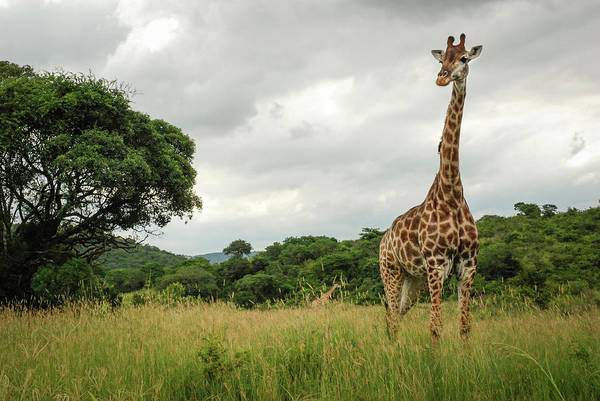 Wall Art - Photograph - A Giraffe At Hluhluwe-imfolozi Game by Jeremy Wade Shockley