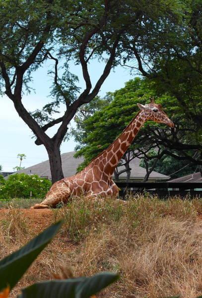 A Giraffe Rests In Honolulu Art Print