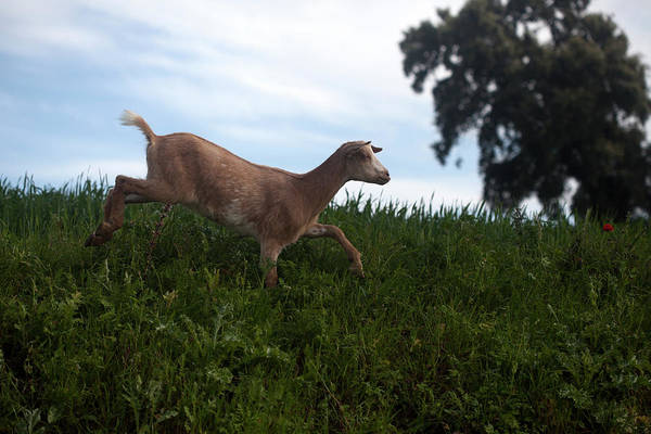 Prado Photograph - A Goat Walks Near A Monoculture Field by Chico Sanchez