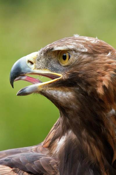 Golden Eagle Photograph - A Golden Eagle by Steve Allen/science Photo Library