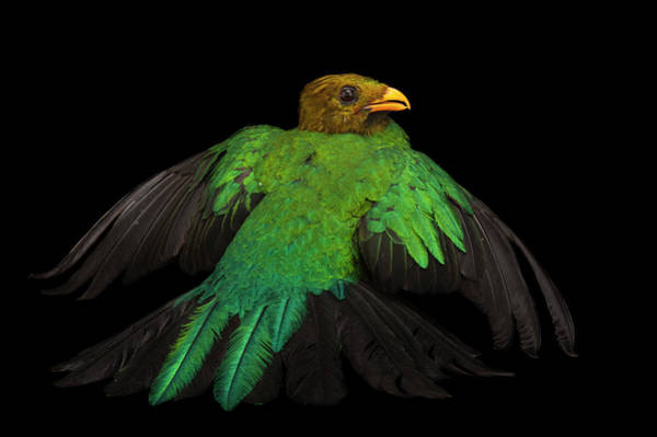 Quetzals Photograph - A Golden Headed Quetzal, Pharomachrus by Joel Sartore