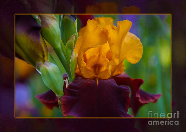 Photograph - A Golden Iris Singing Natures Joyful Tune by Omaste Witkowski